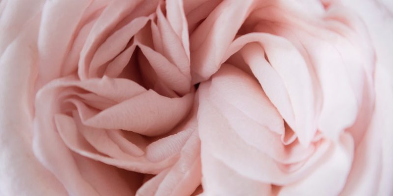 close-up of pink flower opening
