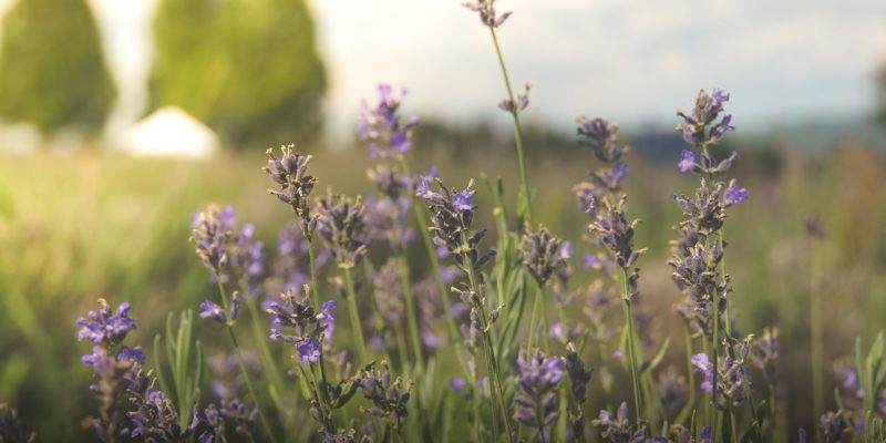 close-up of purple flowers in a field